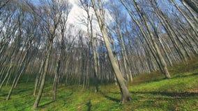 Tło drzewa w lasowej panoramie drzewa na szerokim kącie obiektyw Lasowa halizna z zieloną trawą, i zbiory