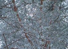 Tło drzewna sosna zakrywająca z śniegiem Fotografia Stock