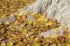 Tło drzewo korzenie i kolorów żółtych liście Obraz Royalty Free