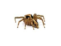 tło fotografia różna odosobniona skokowa makro- ustawia pająka biel Obraz Stock