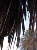 Tło gałąź daktylowe palmy i niebieskie niebo Zdjęcie Royalty Free
