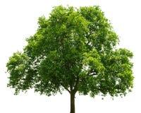 tło ilustracyjnego pojedynczy obrazu drzewny white wektor zdjęcie stock