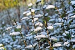 Tło jesień liść. Pierwszy śnieg. Obrazy Royalty Free