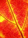 Tło jesieni liście klonowi Zdjęcia Stock
