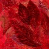 Tło kłaść z wysuszonej jaskrawej czerwieni i Burgundy liści od Zdjęcie Stock