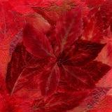 Tło kłaść z wysuszonej jaskrawej czerwieni i Burgundy liści od Obrazy Stock