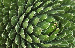 Tło Kaktusowa roślina Fotografia Royalty Free