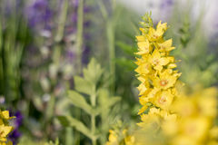 Tło, kolor żółty kwitnie ` loosestrife ` Fotografia Royalty Free