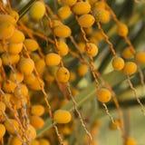 Tło kolorowy szczegółu o owoc palma Zdjęcie Stock