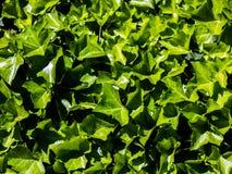 Tło komponujący świezi zieleń liście iluminujący silnym latem, wiosna lub sezonowy słońca światło z całą sceną w ostrzu obraz stock