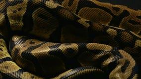 Tło królewski pytonu ` s snakeskin zbiory wideo