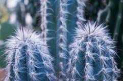 Tło kręgosłupy kaktusowy zbliżenie Fotografia Royalty Free