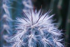 Tło kręgosłupy kaktusowy zbliżenie Obrazy Stock