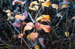 Tło krzaki z żółtymi liśćmi Zdjęcie Royalty Free