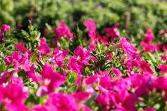 Tło kwiat 36 i światło Obraz Stock