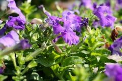 Tło kwiat 37 i światło Fotografia Stock