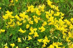 Tło kwiatonośna żółta miotła Zdjęcie Royalty Free