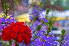 Tło kwiaty w garnku w piwie uprawiają ogródek przed kopuły katedrą Fotografia Stock