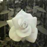 tło kwiaty wzrastali zdjęcie stock