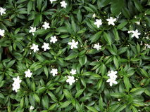 tło kwiaty zielenieją biel Obraz Royalty Free