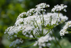 tło kwiaty zielenieją biel Zdjęcie Royalty Free