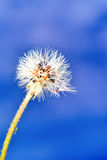Tło kwitnie dandelion Obrazy Stock