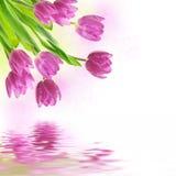 tło kwitnie tulipanu Obraz Royalty Free