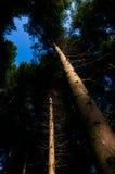 tło lasowi natury śniegu drzewa drewniani Fotografia Royalty Free