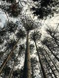 tło lasowi natury śniegu drzewa drewniani Obrazy Stock