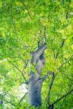 tło lasowi natury śniegu drzewa drewniani Natury światła słonecznego zieleni drewniani tła Zdjęcia Royalty Free
