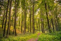 tło lasowi natury śniegu drzewa drewniani Natury światła słonecznego zieleni drewniani tła Zdjęcie Stock