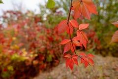 tło leafs czerwień Obrazy Stock