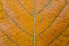 Tło liść w kolorze żółtym, zakończenie kolorowy pomarańczowy liść dla sztandaru szablonu obraz royalty free