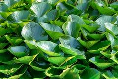 Tło liści round lelui ciemnozielony udział roślinność świeżego projekta nadwodne rośliny obraz stock