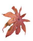 tło liścia suchy biel Fotografia Royalty Free
