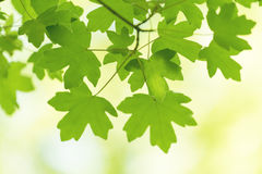 Tło liście słoneczny dzień w wiośnie i lecie, ekologia c zdjęcia royalty free