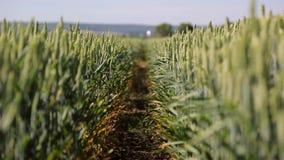 tło lub tekstura Ściegów ziarna pszeniczne rozmaitość Zielony żyta zakończenie Ucho huśta się w wiatrze zdjęcie wideo
