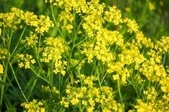 Tło Mali żółci kwiaty Obraz Royalty Free