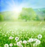 tło mleczy spring pełne meadow żółty