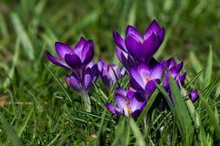 tło mleczy spring pełne meadow żółty Zdjęcia Royalty Free