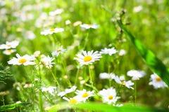 tło mleczy spring pełne meadow żółty Chamomiles na greenfield w świetle słonecznym obraz royalty free