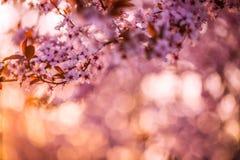 tło mleczy spring pełne meadow żółty okwitnięcia niebo błękitny czereśniowy Fotografia Stock