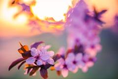 tło mleczy spring pełne meadow żółty okwitnięcia niebo błękitny czereśniowy Obraz Stock