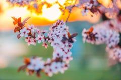 tło mleczy spring pełne meadow żółty okwitnięcia niebo błękitny czereśniowy Fotografia Royalty Free