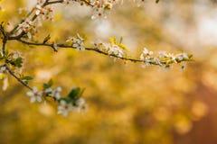 tło mleczy spring pełne meadow żółty okwitnięcia niebo błękitny czereśniowy Obraz Royalty Free