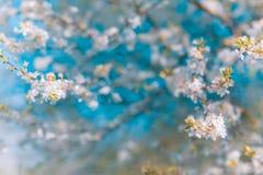 tło mleczy spring pełne meadow żółty okwitnięcia niebo błękitny czereśniowy Zdjęcia Royalty Free