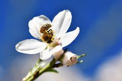 tło mleczy spring pełne meadow żółty Pięknie kwitnąć drzewa z pszczołą Kwiat w naturze Obrazy Royalty Free