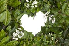 Tło mokry bluszcz opuszcza i biali kwiaty w sercu tworzą obrazy stock