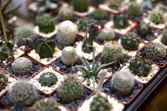 Tło Na powierzchni stół są wiele mali kaktusy zasadzający w małych garnkach fotografia royalty free