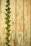 tło na starego malującego ivy uprawy, zdjęcia royalty free